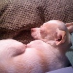 Check out my chihuahua. Puppy Mister, a sleepy puppy featured for #WordlessWednesday