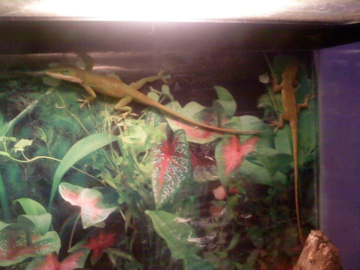 pet love anoles fric and frac