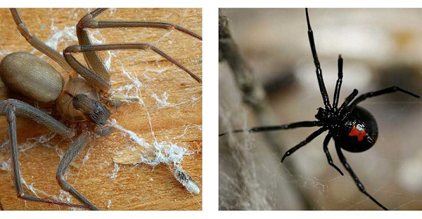 Brown Recluse and Black Widow {Image Credit: The Orkin Ecologist}
