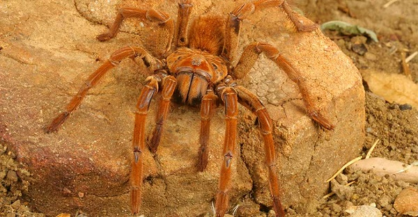 Goliath Bird Eating Spider {Image Credit: The Orkin Ecologist}