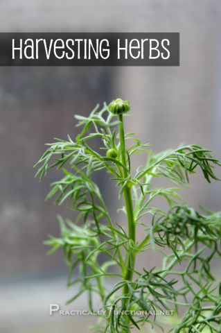 How To Harvest Your Herbs: The Ultimate Guide To Fresh Herbs | Cheap Is The New Classy