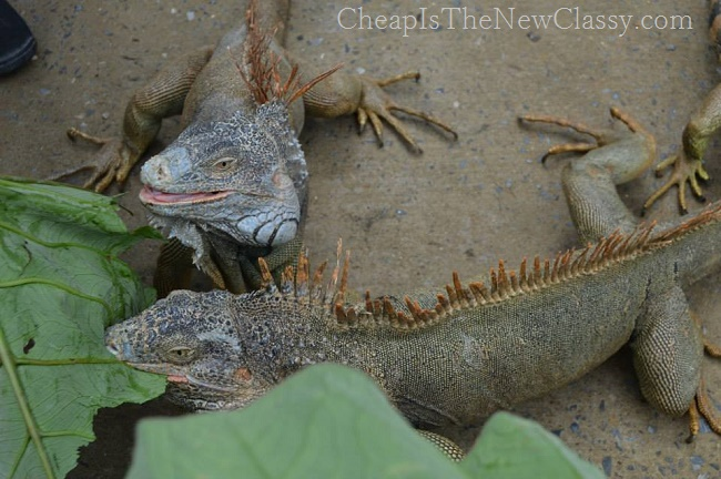 Iguana Pictures: Caribbean Cruise adventures at our Roatan, Honduras port of call