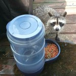 Guess Who's Coming To Dinner? Hint: The Cat Was Not Impressed {Raccoon Pictures}